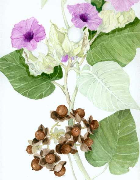 how to use hawaiian baby woodrose seeds