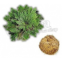 Rose of Jericho (Selaginella lepidophylla)