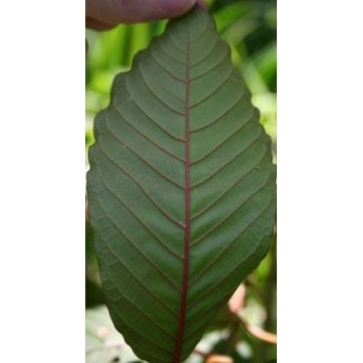Red Vein Kratom 3