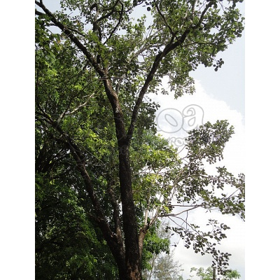 Red Sandalwood (Pterocarpus santalinus) sgredded 3